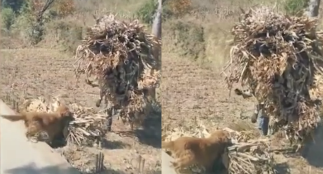 Pet Dog Helps Farmer Do Work, Carries Mouthful Of Heavy Cuttings